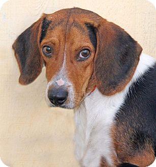 Beagle Mix Dog for adoption in Encinitas, California - Lone Ranger