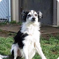Chihuahua Dog for adoption in Van Wert, Ohio - Igor