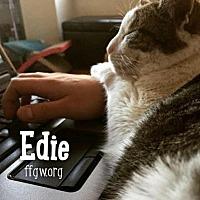 Domestic Shorthair Cat for adoption in Merrifield, Virginia - Spice a/k/a Edie