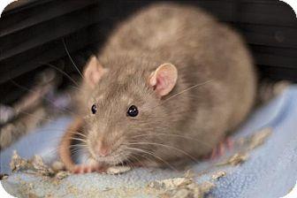 Rat for adoption in Napa, California - Splash
