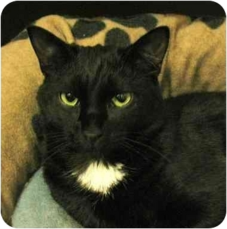 Domestic Shorthair Cat for adoption in Plainville, Massachusetts - Stephie