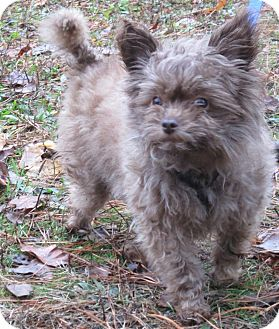 Yorkie, Yorkshire Terrier Mix Dog for adoption in Forked River, New Jersey - Mimi