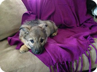 German Shepherd Dog/Norwegian Elkhound Mix Puppy for adoption in West ...