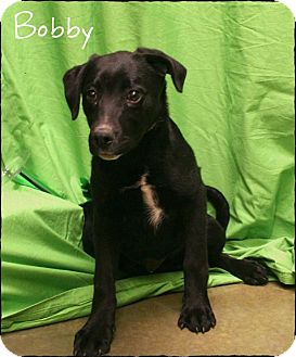 German Wirehaired Pointer/Labrador Retriever Mix Puppy for adoption in Ogden, Utah - Bobby