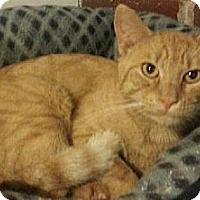 Domestic Shorthair Cat for adoption in Eldora, Iowa - Cheeto