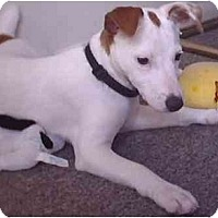 Adopt A Pet :: Roxie - Purebred!! - Chandler, IN