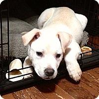 Adopt A Pet :: Crush - Homewood, AL