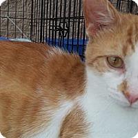 Adopt A Pet :: Bob Cat - Acme, PA