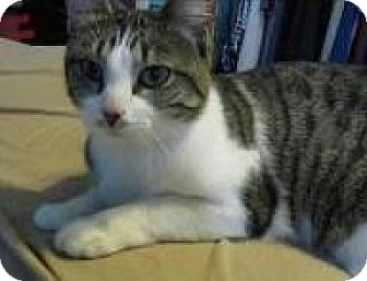 Domestic Shorthair Cat for adoption in Wauconda, Illinois - Felicia