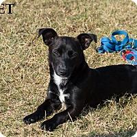 Adopt A Pet :: Gidget - Patterson, CA
