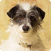 Adopt A Pet :: Abazaba - Gilbert, AZ