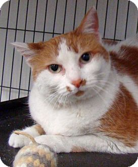 Domestic Shorthair Cat for adoption in Greenfield, Indiana - Misha