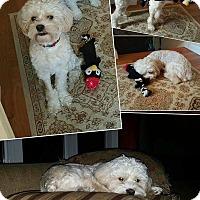 Adopt A Pet :: Dutch - bridgeport, CT