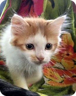 Turkish Van Kitten for adoption in Porter, Texas - Caesar