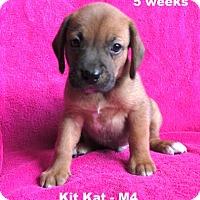 Adopt A Pet :: Jewelyn's pup - Kit Kat - M4 - Tampa, FL