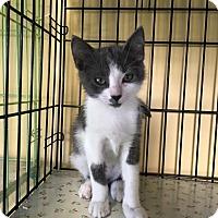 Domestic Shorthair Kitten for adoption in Island Park, New York - Puff