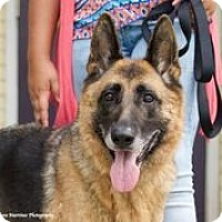 German Shepherd Dog Mix Dog for adoption in Chattanooga, Tennessee - Lola