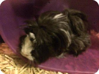 Guinea Pig for adoption in Ann Arbor, Michigan - Pigwidgeon