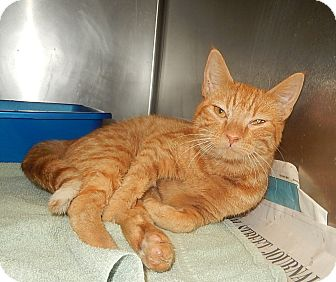 Domestic Shorthair Cat for adoption in Newport, North Carolina - Pumpkin (Petsmart New Bern)