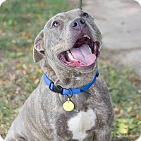 Terrier (Unknown Type, Medium)/Pit Bull Terrier Mix Dog for adoption in Cleveland, Ohio - Loki