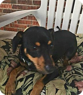 Miniature Pinscher/Dachshund Mix Dog for adoption in Andalusia, Pennsylvania - Mack