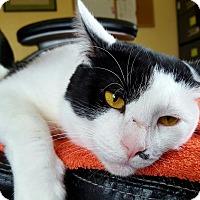 Adopt A Pet :: Pinto - Salisbury, MA