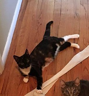 Calico Cat for adoption in Toms River, New Jersey - Brandy