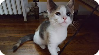 Domestic Shorthair Kitten for adoption in Carlisle, Pennsylvania - Bitsy