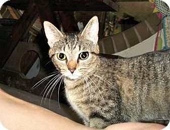 Domestic Shorthair Cat for adoption in Flint, Michigan - Phoebe