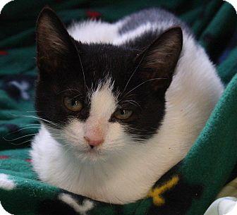 Domestic Shorthair Kitten for adoption in Joplin, Missouri - Twix