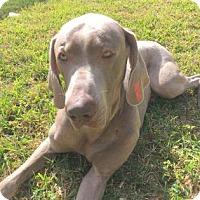 Weimaraner Dog for adoption in Sarasota, Florida - Smokey