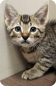 Domestic Shorthair Cat for adoption in Hinsdale, Illinois - Larry
