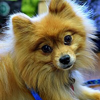 Pomeranian Dog for adoption in Memphis, Tennessee - Remi