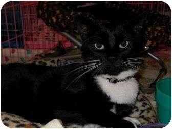 Domestic Shorthair Cat for adoption in Chesapeake, Virginia - London