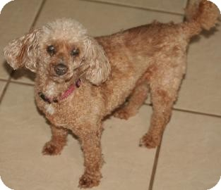 Poodle (Miniature) Mix Dog for adoption in Tucson, Arizona - Rudy