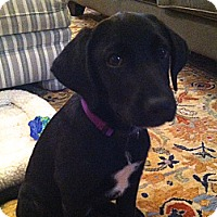 Adopt A Pet :: Shaylee - Randolph, NJ