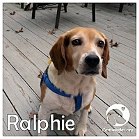 Adopt A Pet :: Ralphie - Novi, MI