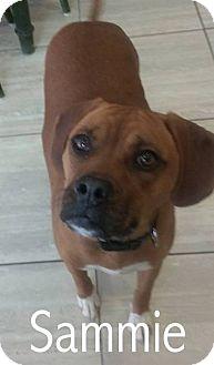 Boxer/Beagle Mix Dog for adoption in New Jersey, New Jersey - Bricktown NJ - Sammie