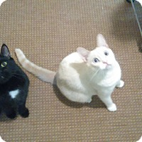 Adopt A Pet :: TNT  N   COLE - Whitestone, NY