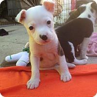 Adopt A Pet :: Hurley - Santa Ana, CA