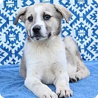 Adopt A Pet :: Fitz - Starkville, MS