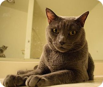 Russian Blue Cat for adoption in Phoenix, Arizona - Smokey