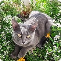 Russian Blue Kitten for adoption in St Helena, California - Dove
