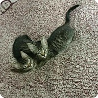 Maine Coon Kitten for adoption in St. James City, Florida - Anthem