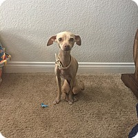 Adopt A Pet :: Skitty - Las Vegas, NV