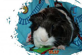 Guinea Pig for adoption in Walker, Louisiana - Olaf