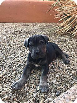 Shar Pei Mix Puppy for adoption in Phoenix, Arizona - Moose