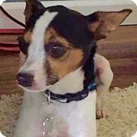 Rat Terrier Dog for adoption in Hockessin, Delaware - Jack