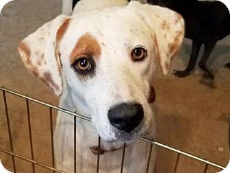 Dalmatian/Labrador Retriever Mix Dog for adoption in San Antonio, Texas - Shiner