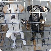 Adopt A Pet :: Venus - Mary Esther, FL